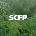 Cannabis plant in closeup in a field of green with the logo of SCFP